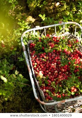 Rot Preiselbeeren Wald zunehmend Natur grünen Stock foto © Digifoodstock