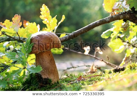 Royal boletus mushroom under oak leaf Stock photo © romvo