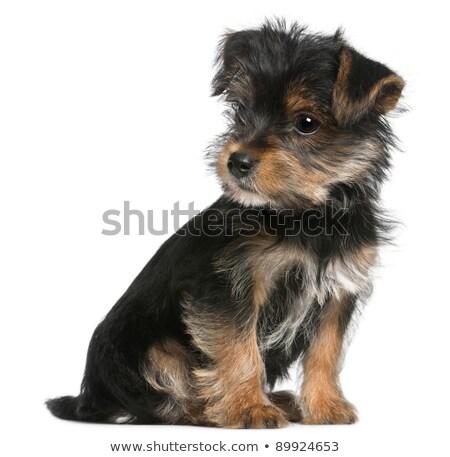 Yandan görünüş sevimli yorkshire terriyer köpek yavrusu köpek Stok fotoğraf © feedough