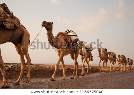 Camellos caminando desierto ilustración cielo sol Foto stock © bluering