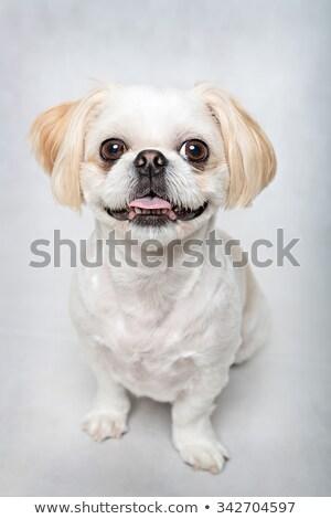 teeth of puppy shih tzu Stock photo © cynoclub