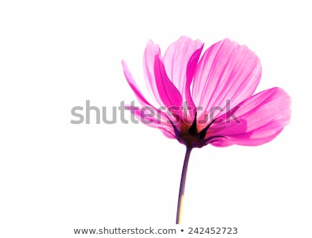 Watercolor cosmos flower isolated on white background Stock photo © balasoiu