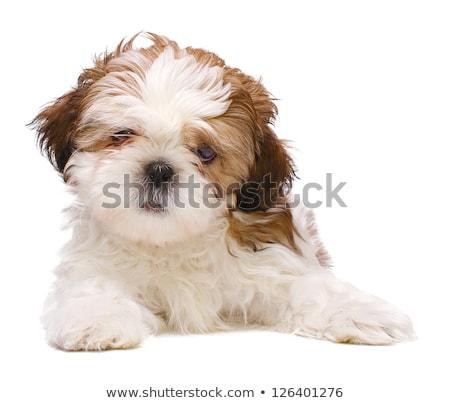 köpek · yavrusu · beyaz · hasta · oynama · evcil · hayvan · sevimli - stok fotoğraf © cynoclub