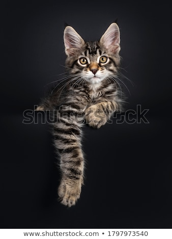 handsome black tabby maine coon cat kitten isolated on black background stock photo © catchyimages