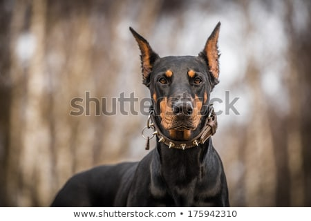 Doberman guard dog Stock photo © Dazdraperma