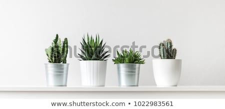 Cactus with Flowering, Flower on Green Plant in Pot Stok fotoğraf © robuart