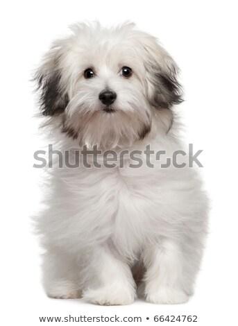 studio shot of a cute bolognese dog stock photo © vauvau