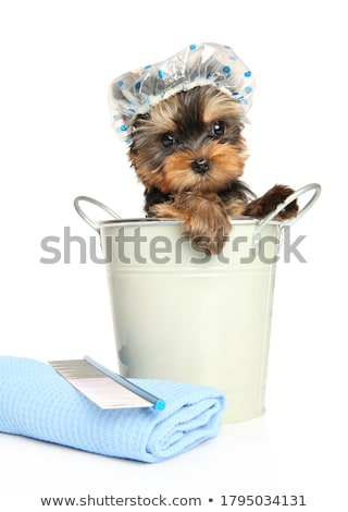 Portret cute yorkshire terriër geïsoleerd Stockfoto © vauvau