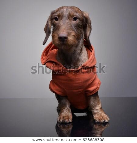 Cute teckel puppy oranje kleding Stockfoto © vauvau