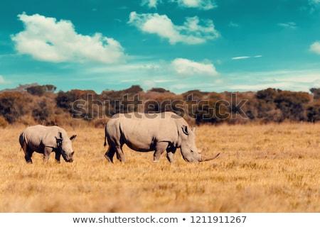 family of rhino in the savannah Stock photo © adrenalina