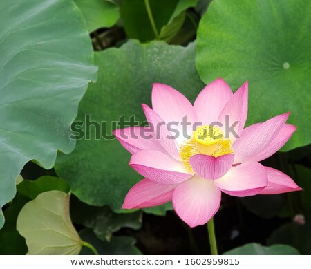 blossoming pink lotus with green leaf stock photo © ansonstock
