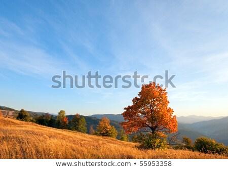 Lonely autumn tree on evening Carpathian mountainside. Stock photo © wildman