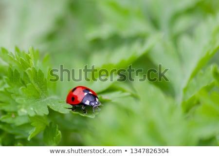 katicabogár · kéz · idilli · tájkép · fű · természet - stock fotó © suerob