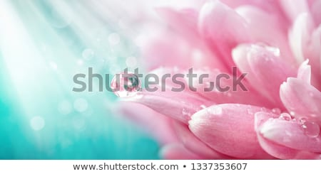 Cseppek víz krizantém közelkép sárga virág szirom Stock fotó © calvste