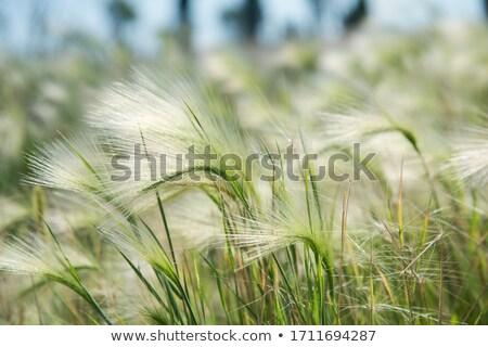 Tüy çim rüzgâr mavi gökyüzü çiçek bahar Stok fotoğraf © alexandkz