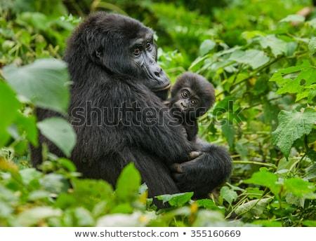Női hegy gorilla park Ruanda erdő Stock fotó © ajlber