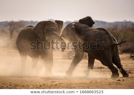 iki · fil · kavga · gün · batımı · Afrika - stok fotoğraf © timwege