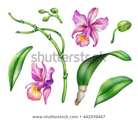 Orchidea virág részlet lila hibrid otthon Stock fotó © Antonio-S