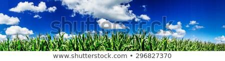 トウモロコシ · フィールド · 日の出 · 青空 · 春 · 太陽 - ストックフォト © meinzahn