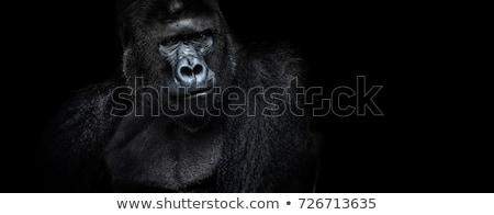 Gorilla mannelijke jonge alle naar Stockfoto © KMWPhotography