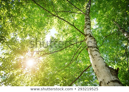 Stock photo: tops of birch trees and sun