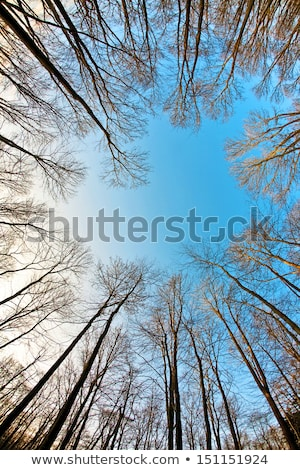 crown of trees with clear blue sky and harmonic branch structure stock photo © meinzahn