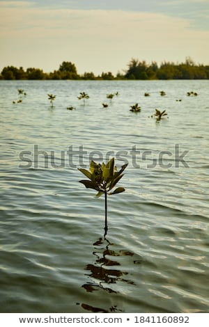 Beautiful mangrove tree growing on the seashore Stock photo © smithore