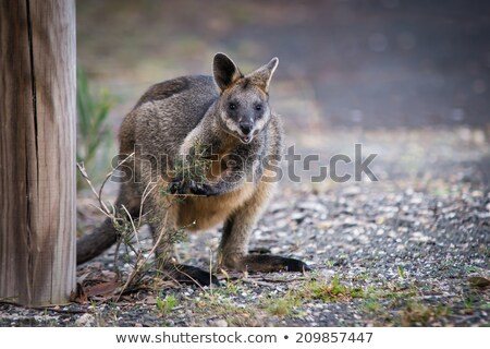 Beautiful agile wallaby  Stock photo © Nejron