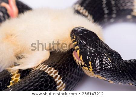 Water slang eten buit rand vijver Stockfoto © brm1949