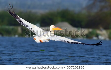 closeup of great pelican in flight Stock photo © taviphoto