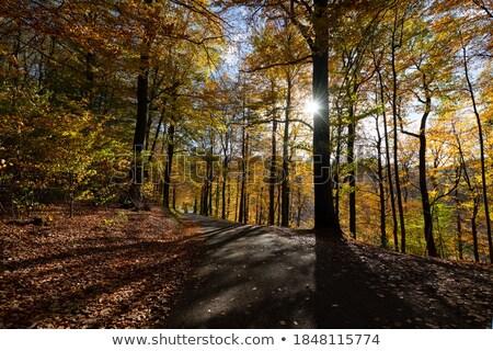 Back-lit Beech Leaves Stock photo © ca2hill