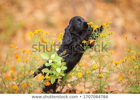 english cocker spaniel puppies stock photo © silense