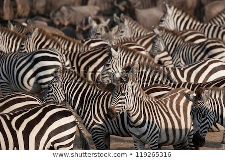 herd of wild zebras stock photo © master1305