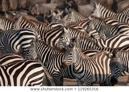 群れ シマウマ アフリカ 洪水 草 ストックフォト © master1305