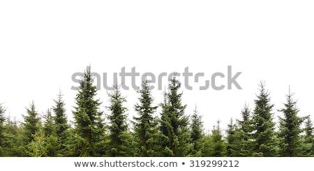 Kiefer weiß Baum Gras Holz grünen Stock foto © Zerbor