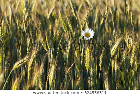 Foto d'archivio: Green Wheat Head In Cultivated Agricultural Field