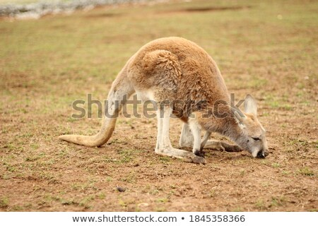Adult kangaroo sniffing the grass Stock photo © epstock
