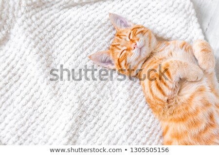 domestic red cat stock photo © manera