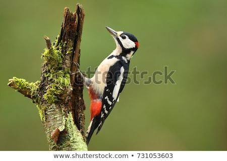 Great spotted woodpecker Stock photo © ivonnewierink
