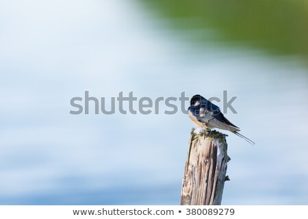 Common house Martin on pole Stock photo © ivonnewierink