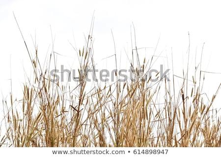 paja · trigo · cosecha · campo · planta - foto stock © stoonn