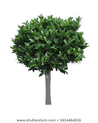 Defne ağaç beyaz yaprak arka plan yağ Stok fotoğraf © bluering