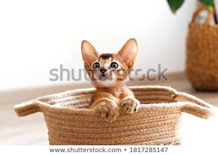 Vermelho gato retrato branco estúdio piso Foto stock © vauvau