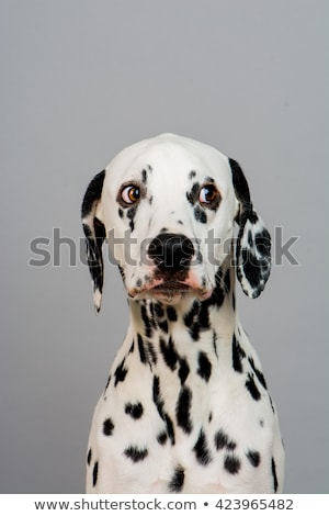 cute dalmatians sitting in black background photo studio stock photo © vauvau