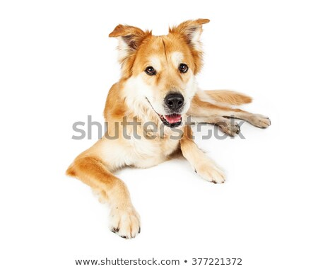 Mixed breed dog relaxing in a white studio Stock photo © vauvau