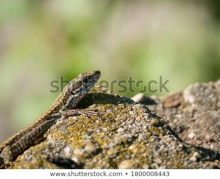 pequeno · lagarto · sessão · madeira · grama - foto stock © simply