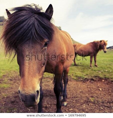 Closeup of brown Icelandic ponies Stock photo © kb-photodesign