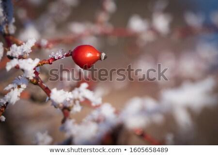 fagyott · rózsa · bokor · hideg · tél · nap - stock fotó © taviphoto