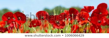 Alan haşhaş çiçek tomurcuk açmak Stok fotoğraf © suerob
