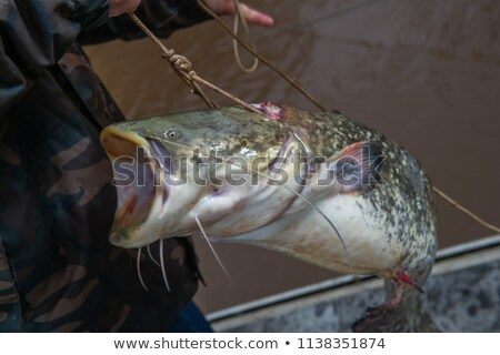 Silurus glanis catfish after fight on the gras with fishing rod Stock photo © FreeProd